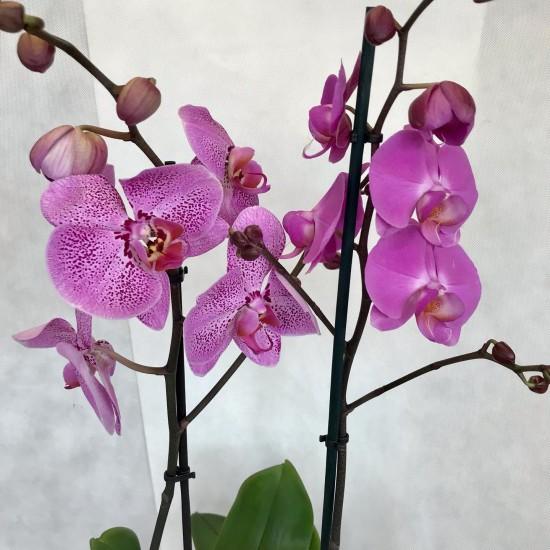 Orchidea v črepe